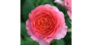 rózsa rendelés